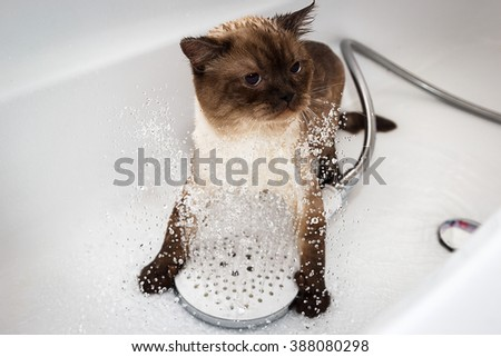 Bath or shower to a Scottish cat  - stock photo