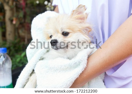 Bath time for white pomeranian shower in garden
