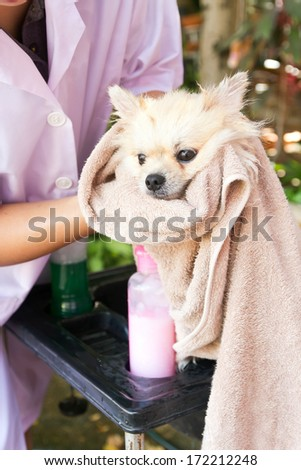Bath time for white pomeranian shower in garden - stock photo
