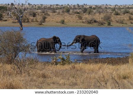 Battle between elephants - stock photo