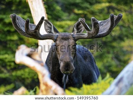 battle scarred elderly bull moose - stock photo