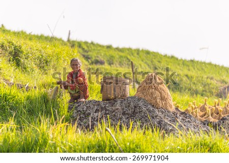 Batutumonga, Sulawesi, Indonesia - September 6, 2014: Unidentified woman working by hand in the rice fields in the hilly region of Tana Toraja. Concept of manual working in developing countries. - stock photo
