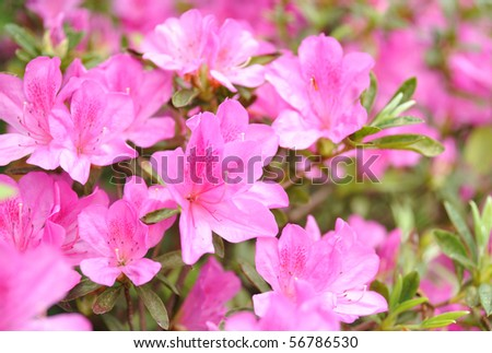Bauhinia flower - stock photo