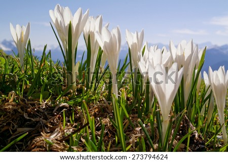 Bavarian Alps, Germany, Crocus on a alpine meadow - stock photo