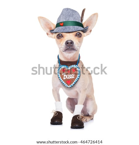 bavarian german chihuahua  dog with  gingerbread and hat,  isolated on white background , ready for the beer celebration festival in munich