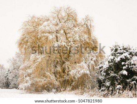 Bavarian landscape with a frosted weeping willow tree