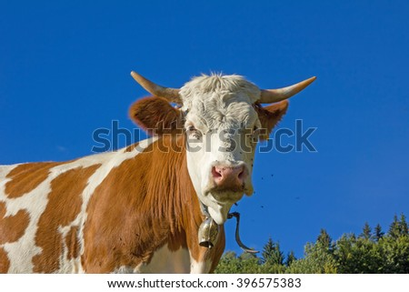 bavarian milker outdoor, brown and white brindled, blue sky