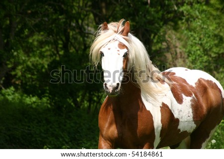 bay and white gelding in the woods - stock photo