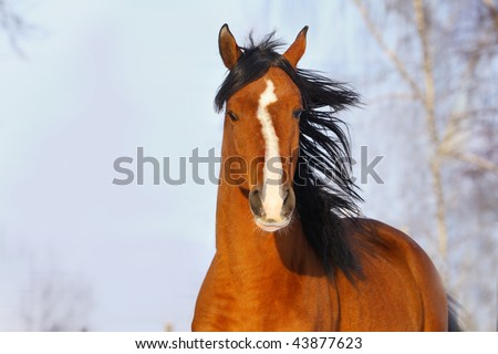 bay arab horse in winter - stock photo