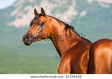 bay arabian horse stallion portrait - stock photo
