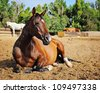 Bay Arabian Mare resting in Pasture - stock photo