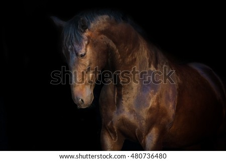 Bay beautiful horse portrait on black background