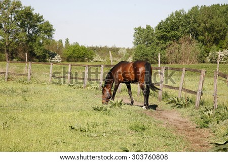 Bay colored stallion grazing in the corral summertime rural scene