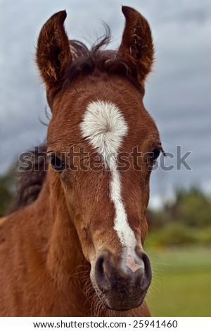 Bay foal close up facing camera with pasture and grey sky in background. - stock photo