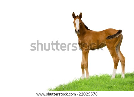 bay foal isolated on white background - stock photo