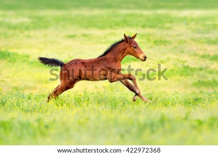 Bay foal run gallop on spring pasture - stock photo