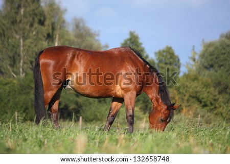 Bay horse eating grass at the grazing in summer