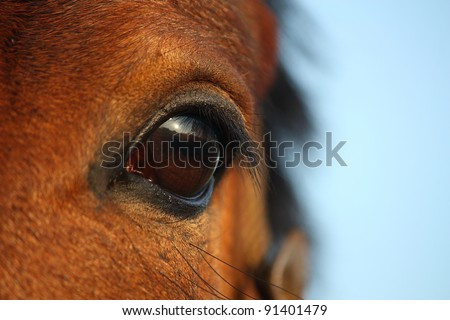 Bay horse eye close up