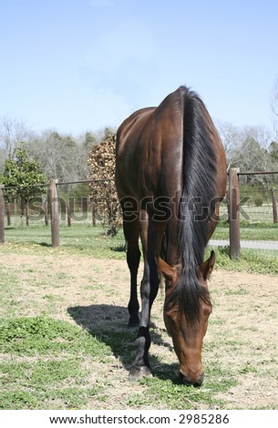 Bay Horse grazing in a field - stock photo