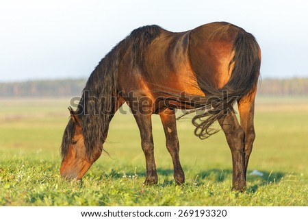 Bay horse grazing in the pasture. - stock photo