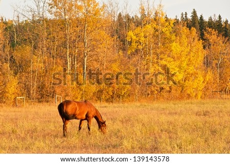 Bay horse grazing pasture in fall - stock photo