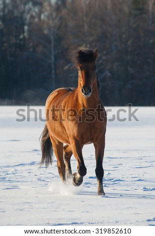 bay horse in winter running in front view