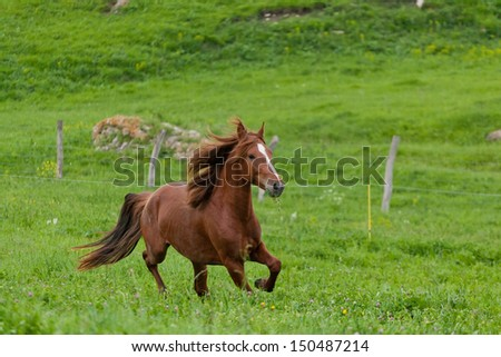 bay horse is walked in the electroshepherd - stock photo
