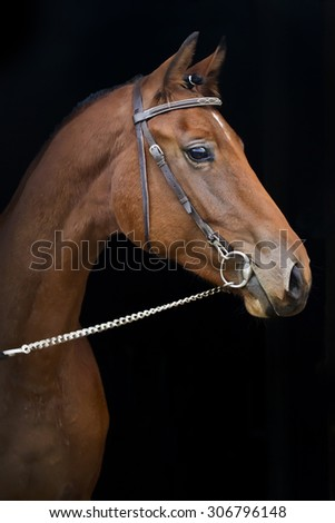 Bay horse isolated on the black background