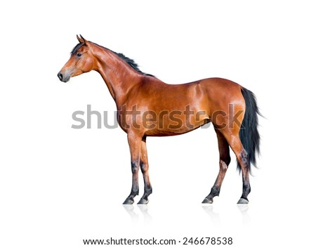 Bay horse isolated on white background - stock photo