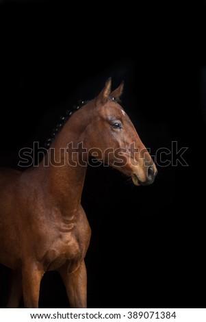 Bay horse on black background - stock photo