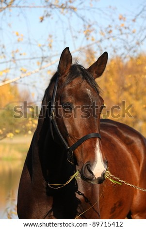 Bay horse portrait in autumn - stock photo