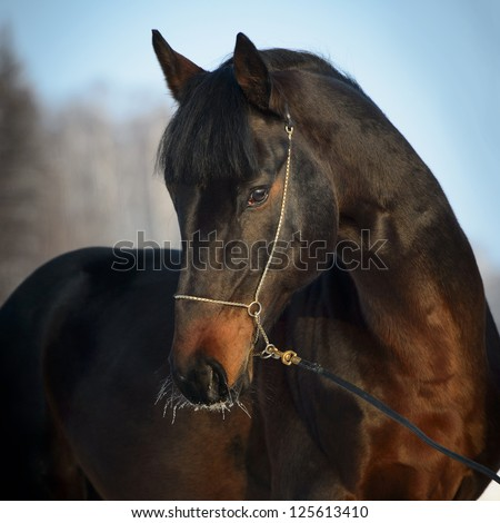 Bay horse portrait in winter time - stock photo