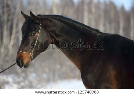 Bay horse portrait in winter time