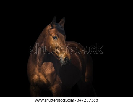 Bay horse portrait over a black background