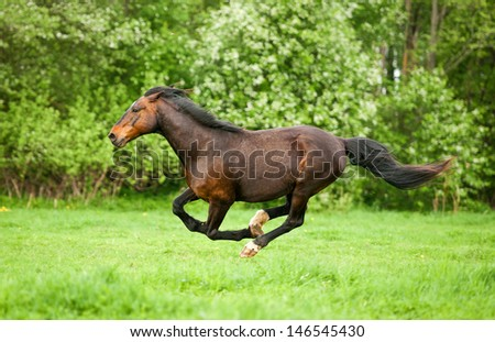 Bay horse running at field in summer - stock photo