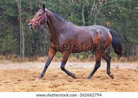 Bay horse running free in autumn landscape. - stock photo
