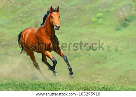 Bay horse running in the field - stock photo