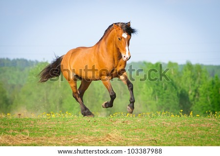 Bay horse runs gallop in summer time - stock photo