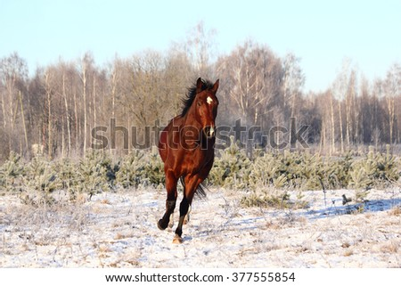 Bay horse trotting at the field in winter