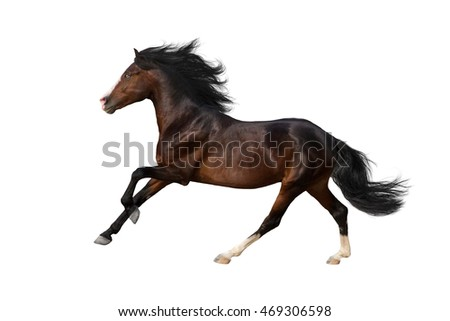 Bay horse with long mane run isolated on white background