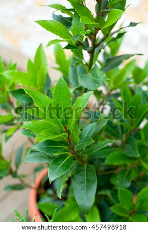 bay leaf growing - stock photo