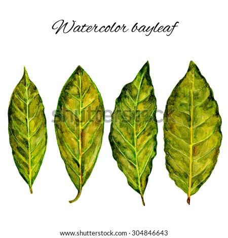 Bay leaf watercolor illustration on white background, hand drawn painting sketch, Organic natural aromatic herbs, fresh spice ingredient for healthy green market, restaurant menu, design food pattern