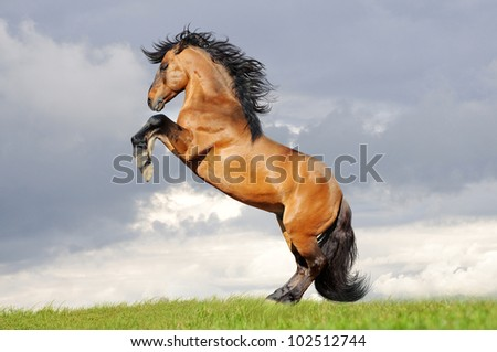 bay lusitano horse rearing in the field - stock photo
