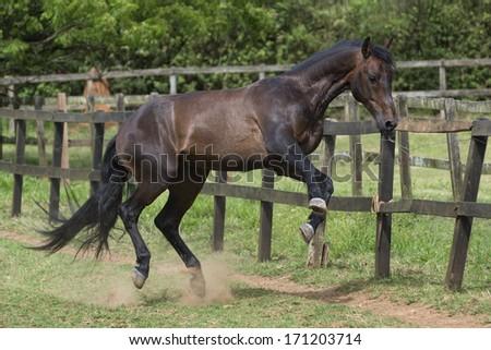 Bay lusitano stallion plays in the field - stock photo