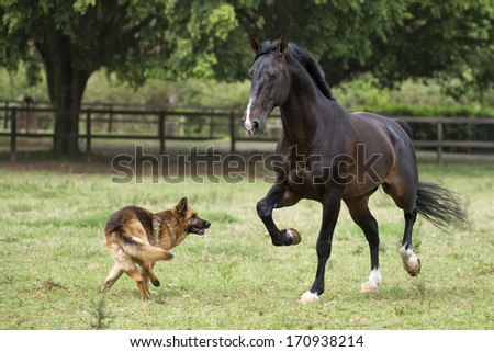 Bay lusitano stallion runs in a field playing with his canine friend - stock photo
