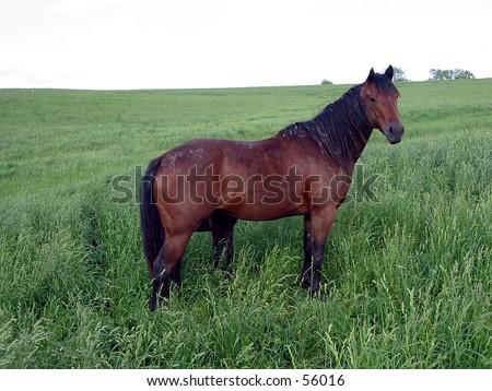Bay Quarter Horse Mare - stock photo