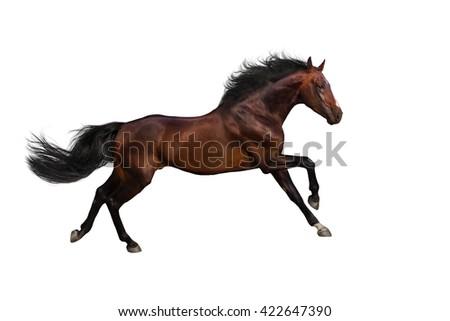 Bay stallion run gallop isolated on white background - stock photo