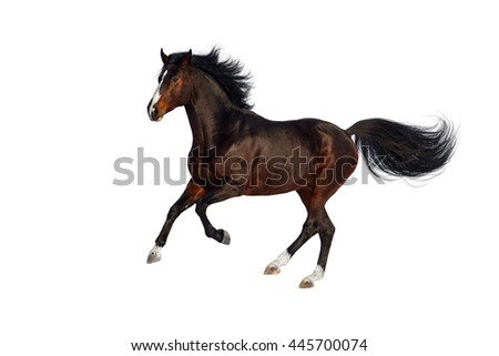 Bay stallion run gallop isolated on white background