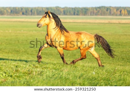 Bay stallion running free in the meadow. - stock photo