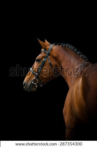 Bay thoroughbred dressage horse over a black background - stock photo